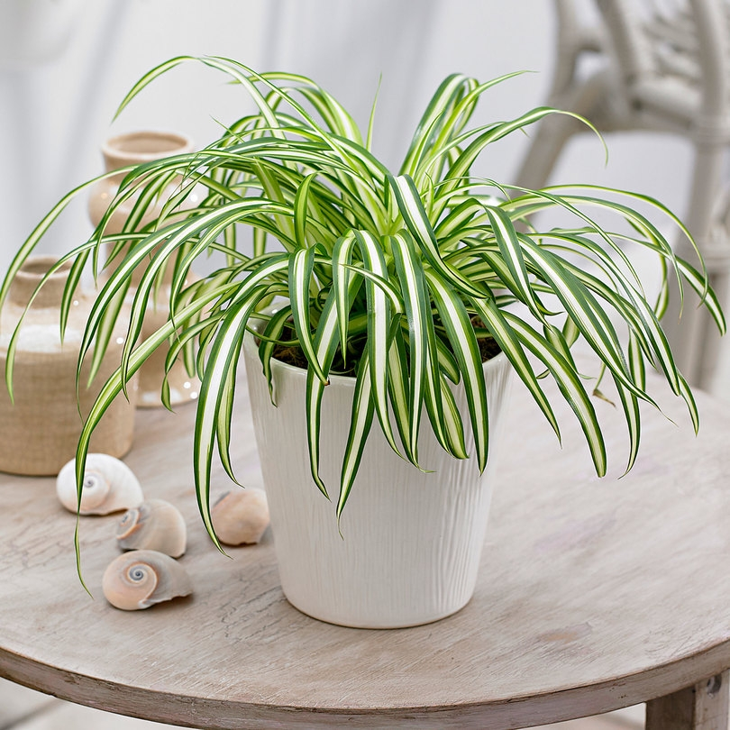 Spider Plant- Indoor Plants for Clean Air