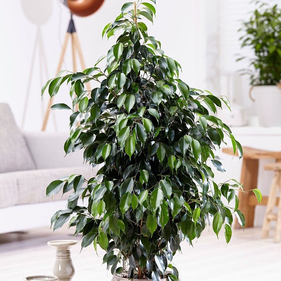Weeping Fig- Indoor Plants